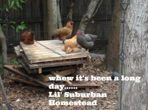 lil suburban homestead silly chickens