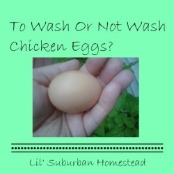 To Wash Or Not Wash Chicken Eggs From Lil' Suburban Homestead