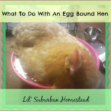 egg bound hen - lil' suburban homestead