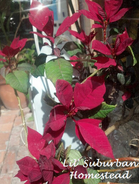 a poinsetta my husband nursed back to health
