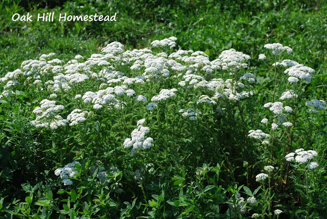 oak hill homestead yarrow