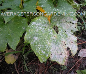 zucchini with powdery mildew