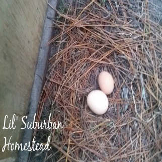 our chickens nesting