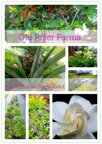 old river farms flowers by lil suburban homestead
