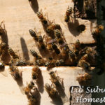luring in a bee swarm