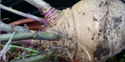 why i should plant kohlrabi?