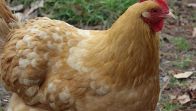 do you name your chickens?