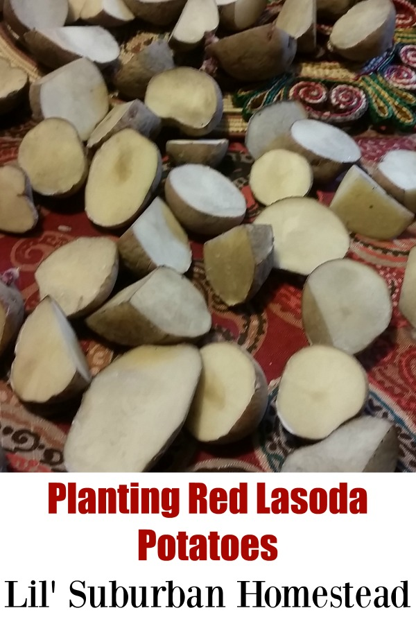 Planting Red Lasoda Potatoes Lil Suburban Homestead