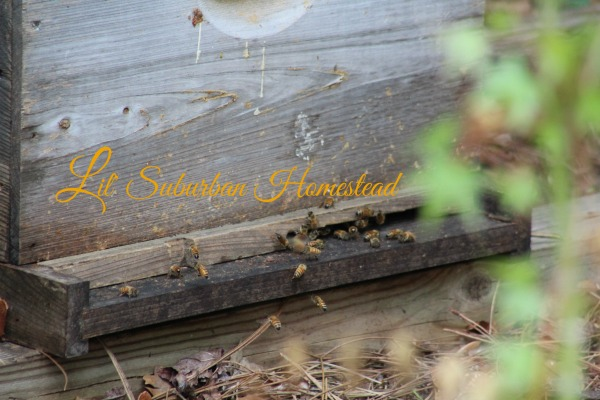 our bees at lil' suburban homestead