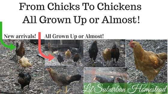 From Chicks To Chickens - All Grown Up or Almost!