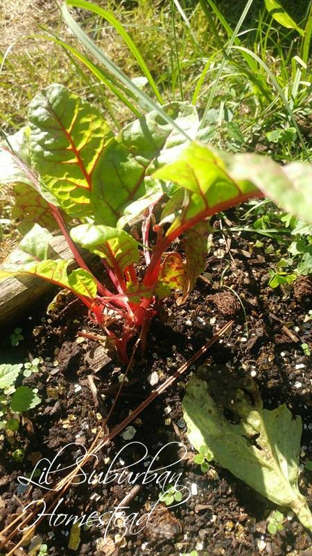 swiss chard growing in our fall garden