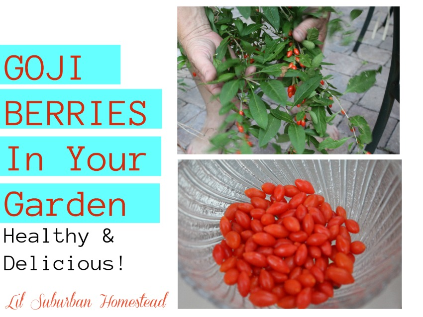 Goji Berries In Your Garden - Healthy & Delicious